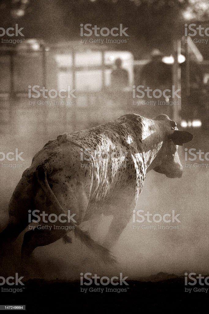 angry bull stock photo