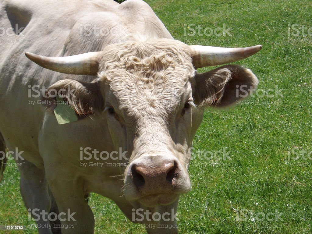 angry bull with sharp horns royalty-free stock photo