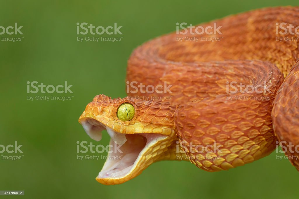 Angry Bush Viper - Venomous Snake stock photo
