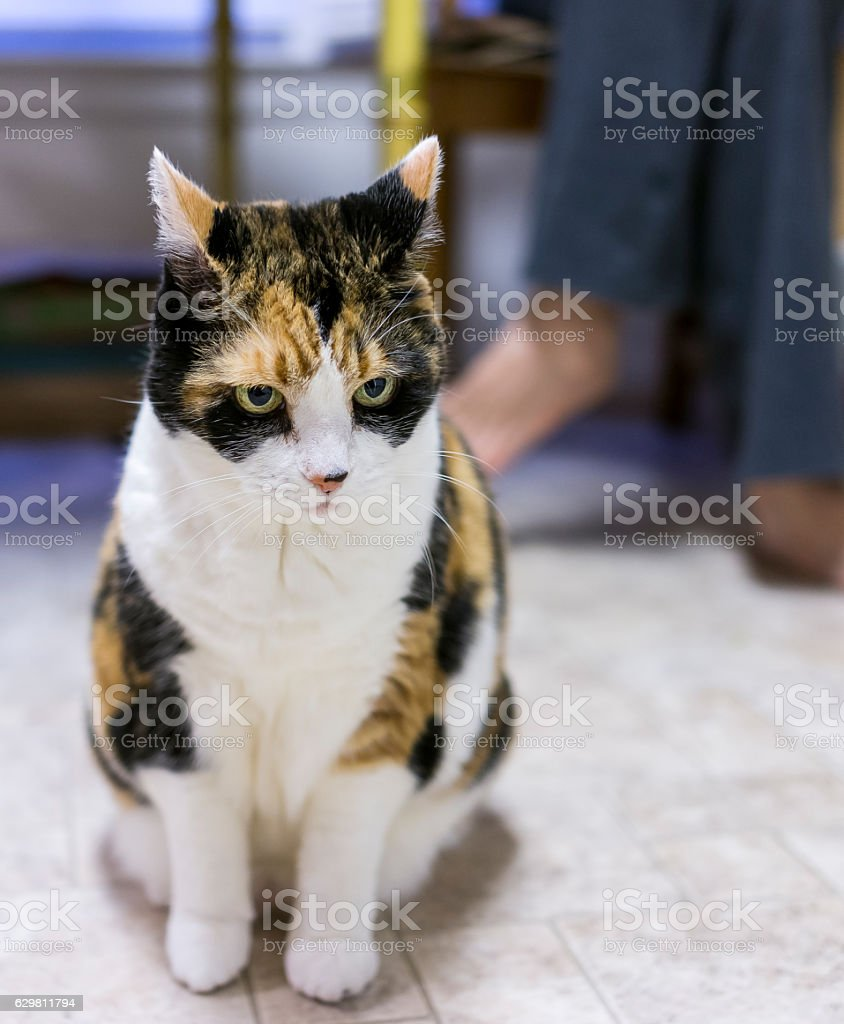 Angry calico cat sitting in front of owner stock photo