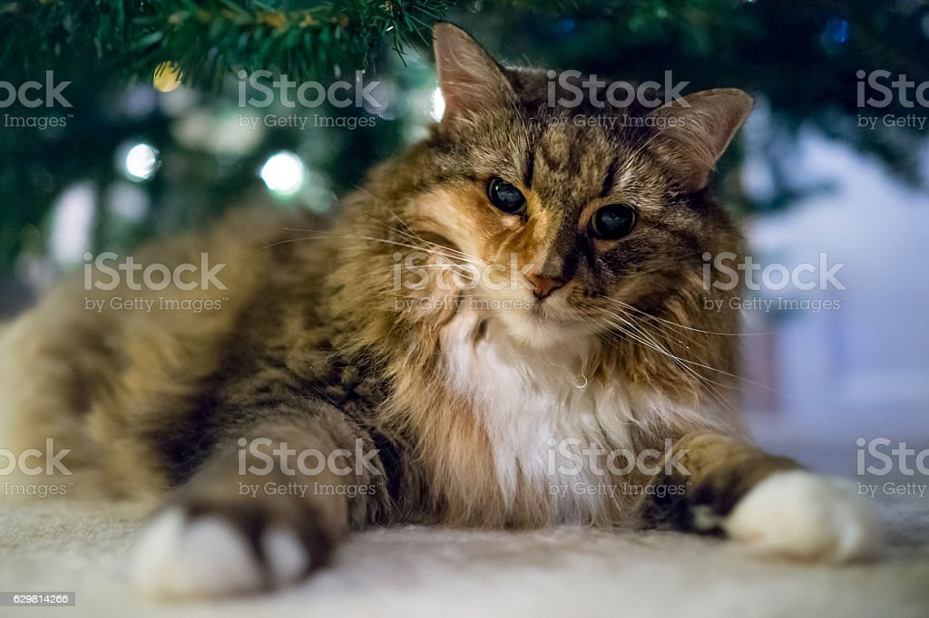Angry calico tabby maine coon cat under Christmas tree stock photo