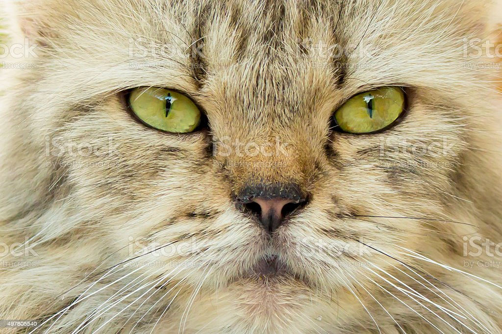 Angry Cat face - close up stock photo