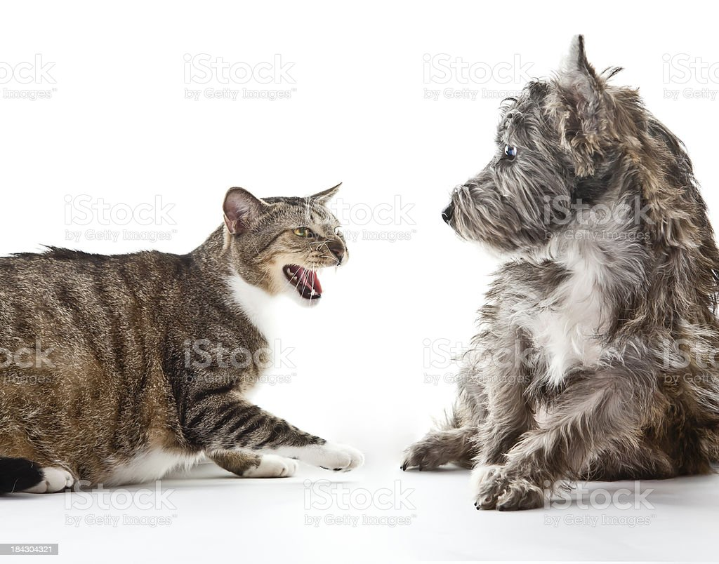 Angry Cat Scares Small Mixed Breed Dog stock photo