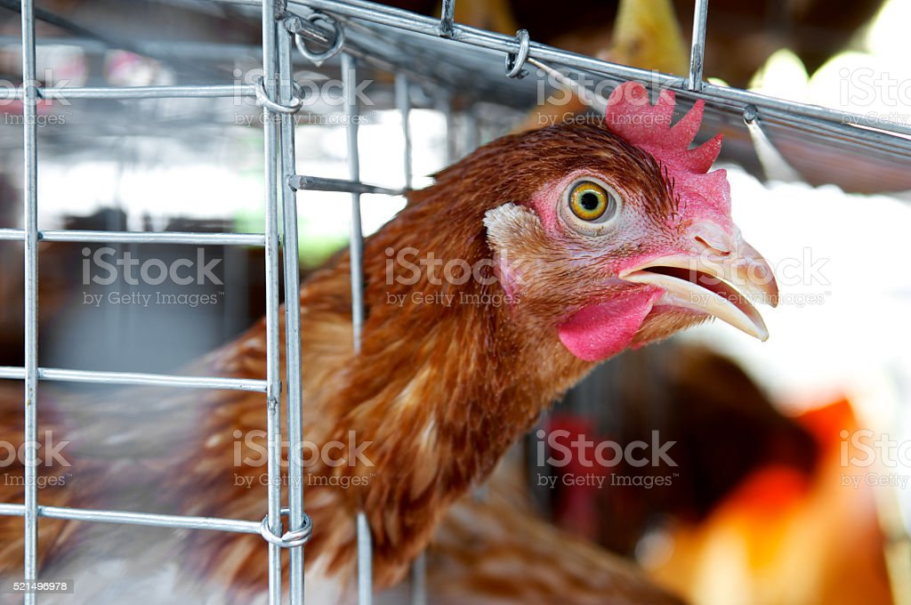 Angry chicken in the cages for sell in the market stock photo