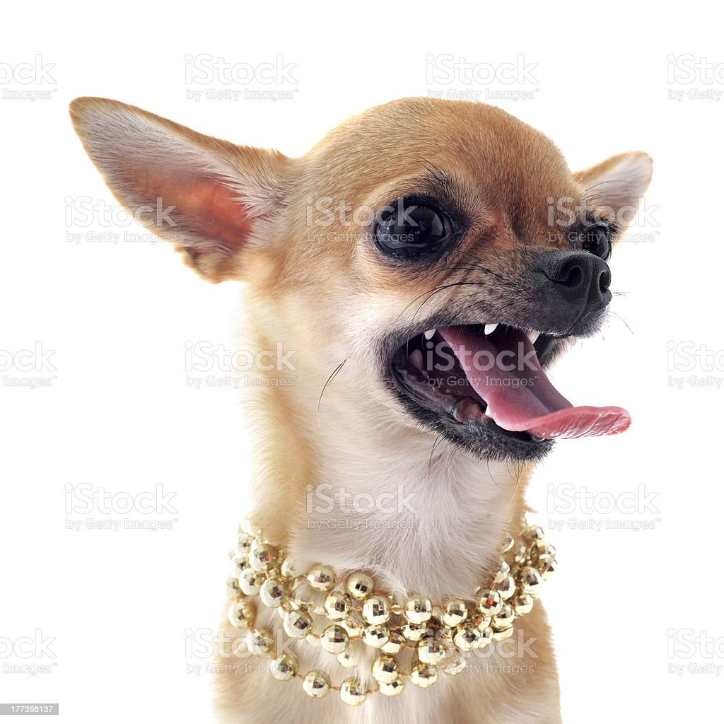 Angry chihuahua dog wearing gold beaded necklace stock photo