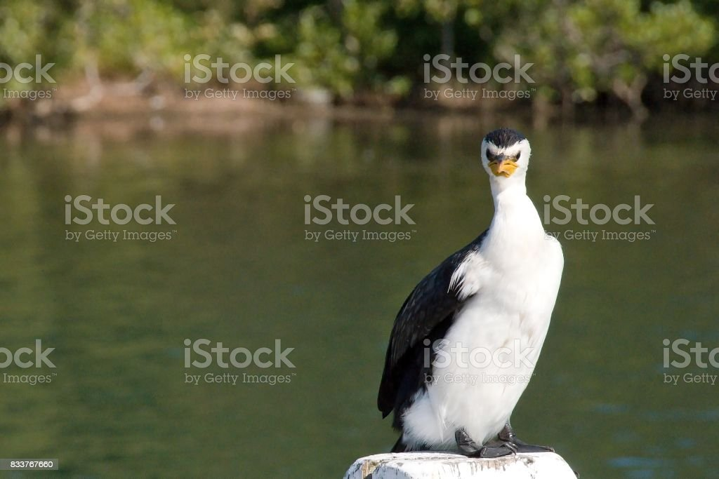 Angry Cormorant Bird standing on a post. stock photo