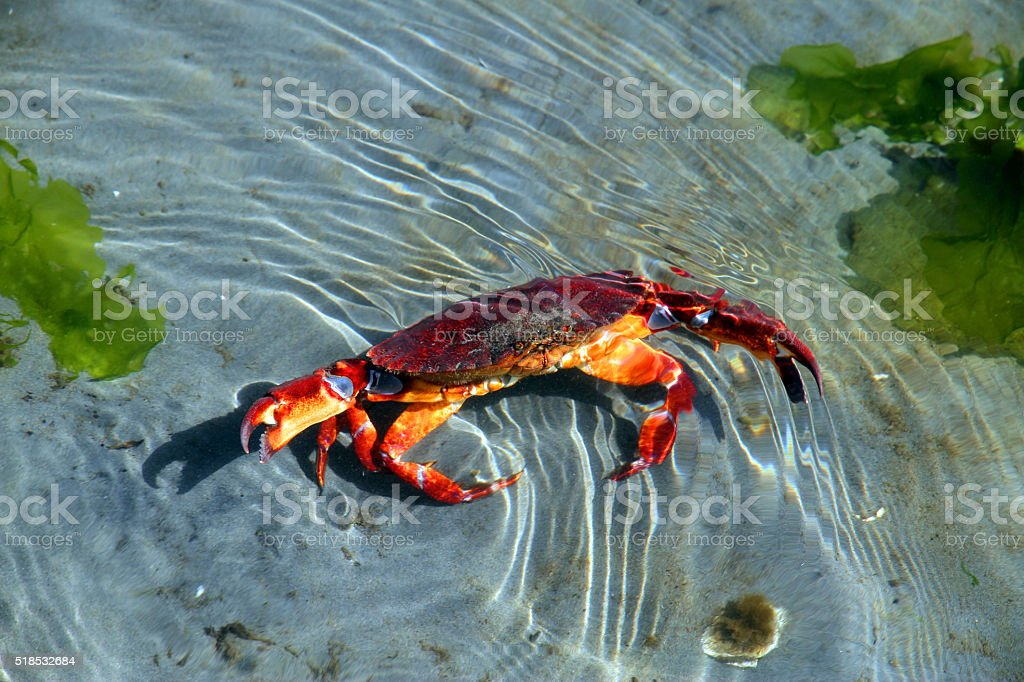 Angry Crab stock photo