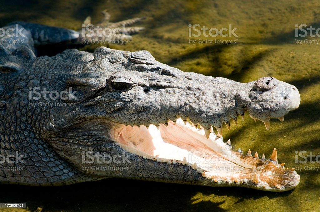 Angry Crocodile royalty-free stock photo