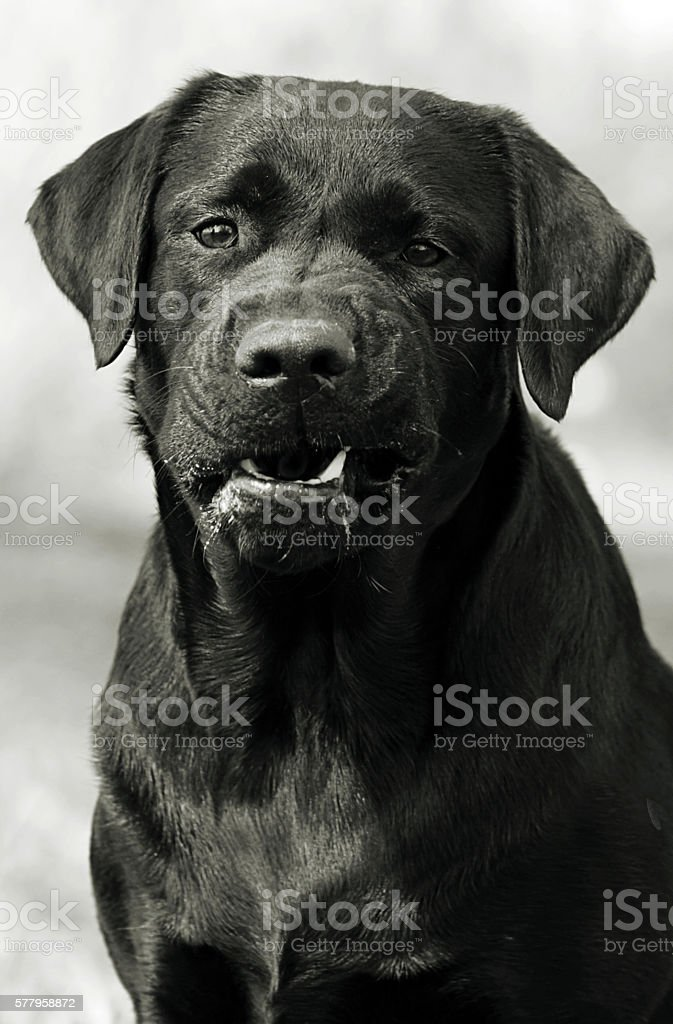 Angry dog Labrador Retriever growling stock photo