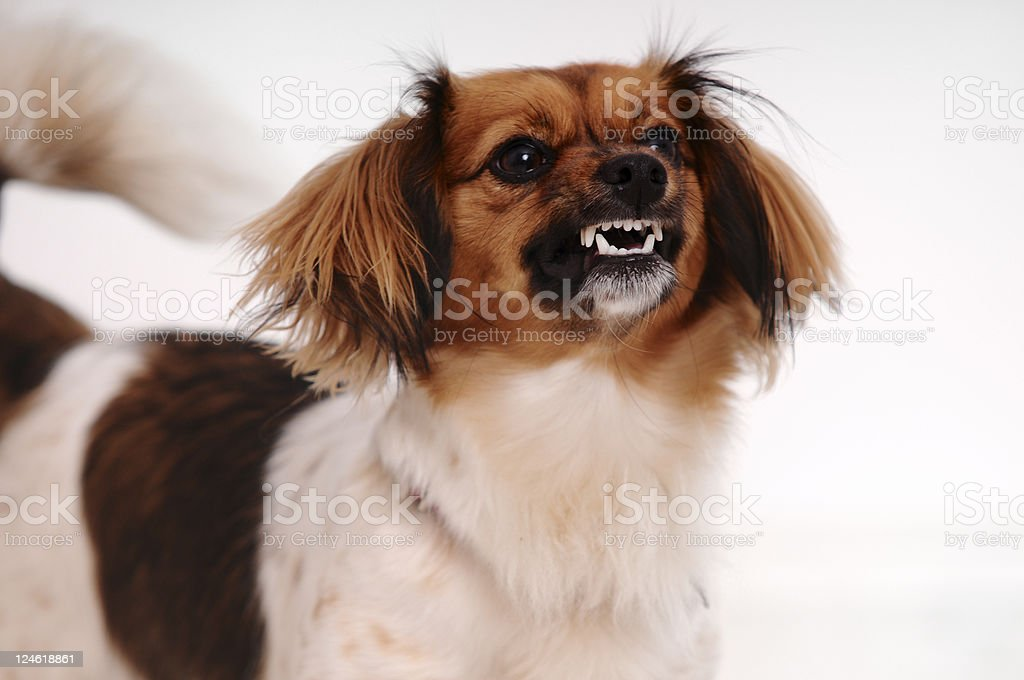 angry dog royalty-free stock photo