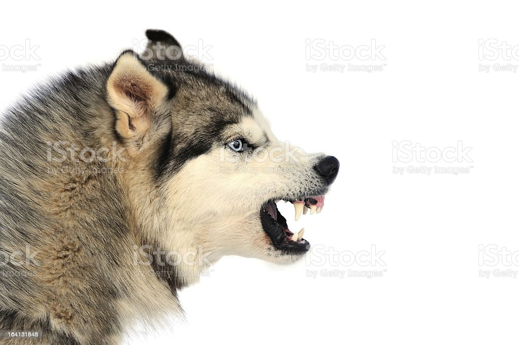 Angry dog royalty-free stock photo