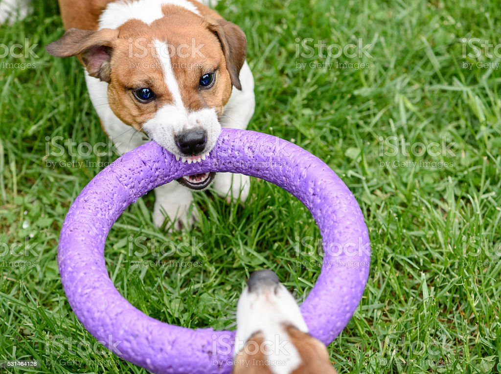 Angry dog pulling toy playing tug-of-war game stock photo