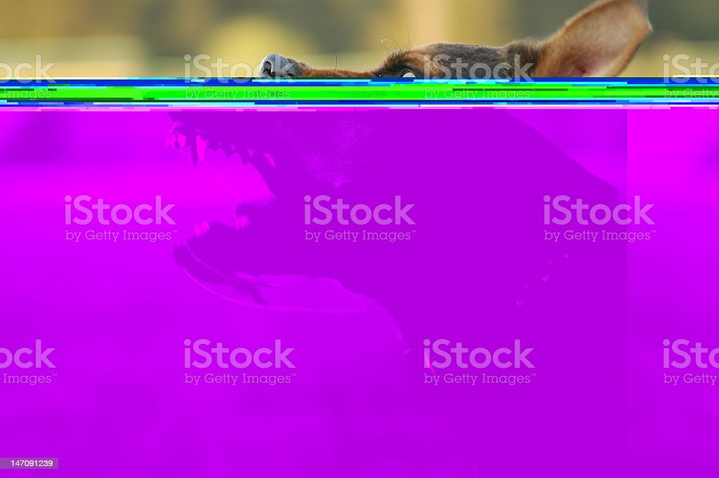 Angry dog with bared teeth outside stock photo