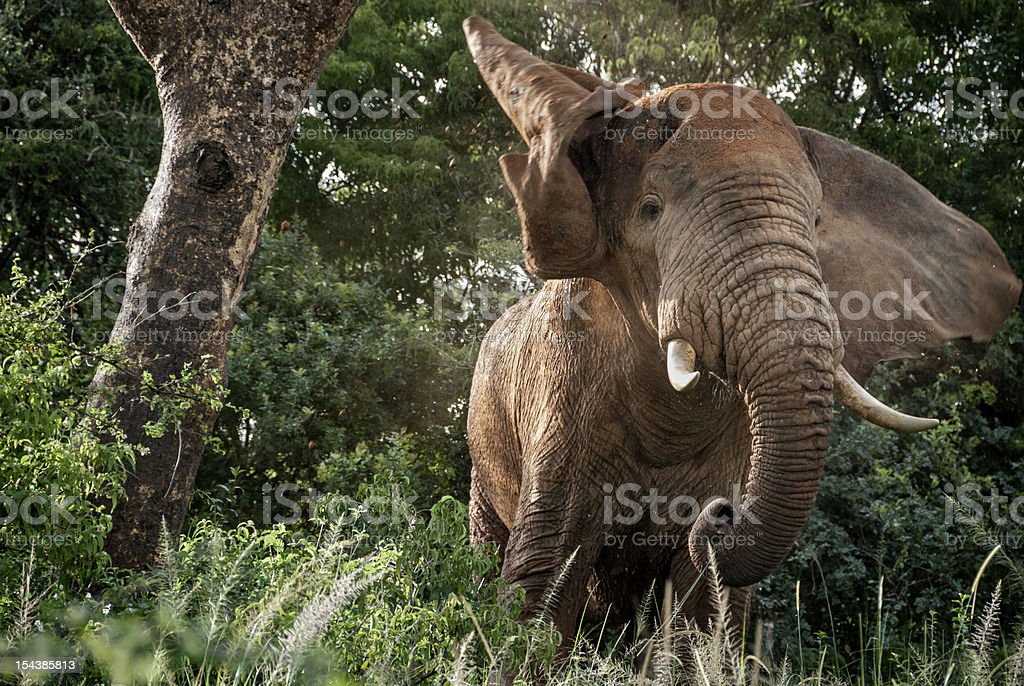 Angry elephant stock photo