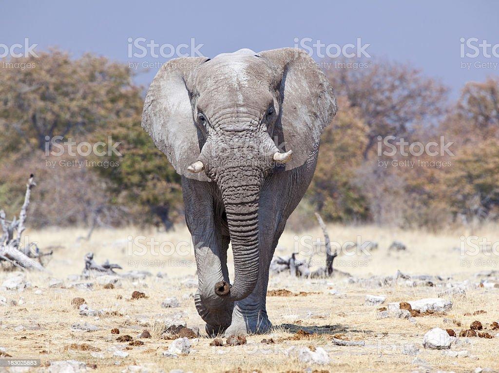 Angry Elephante, Etosha National Park, Namibia royalty-free stock photo