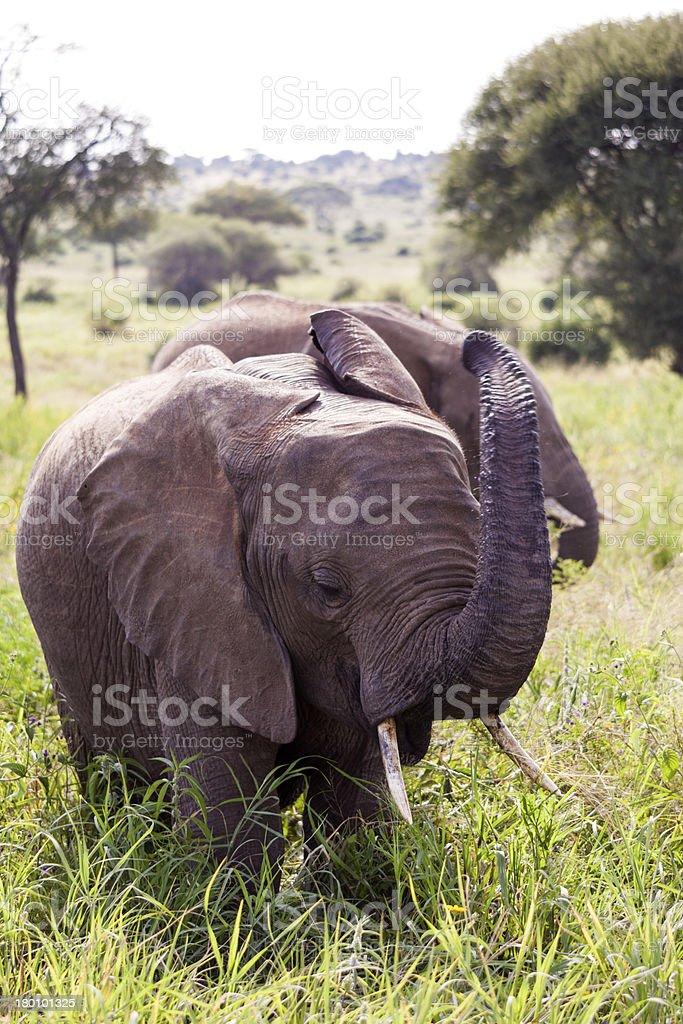 Angry Elephants royalty-free stock photo