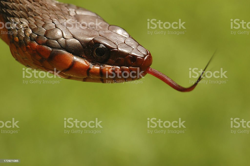 Angry Eyed Snake Sensing the Air with his Tongue stock photo