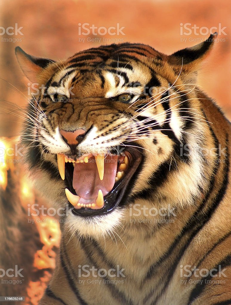 Angry Face Tiger stock photo