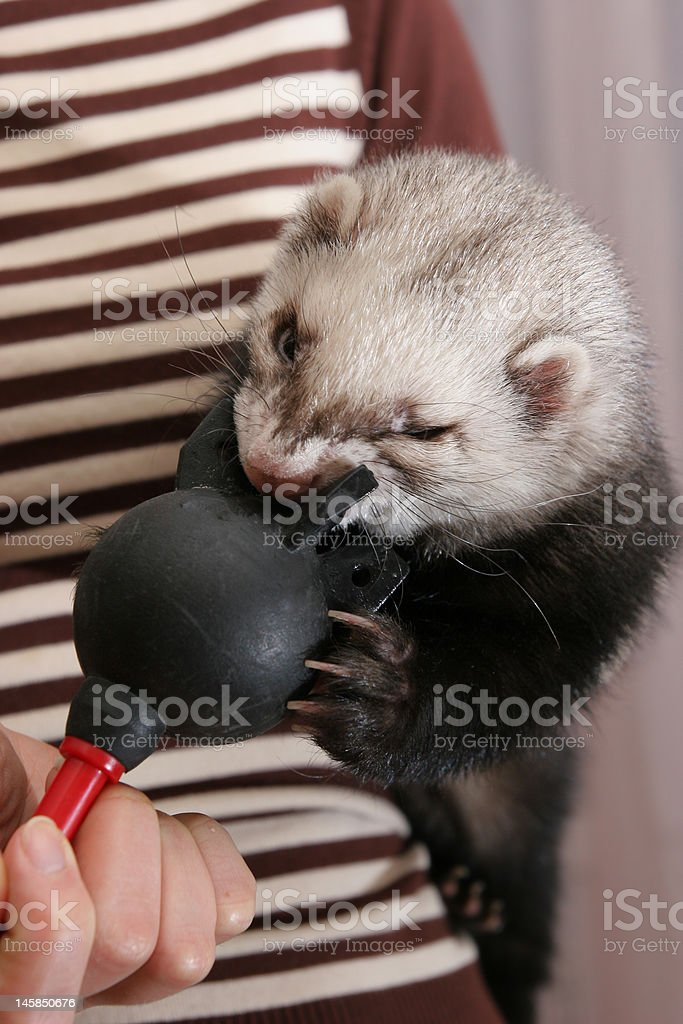 angry ferret royalty-free stock photo