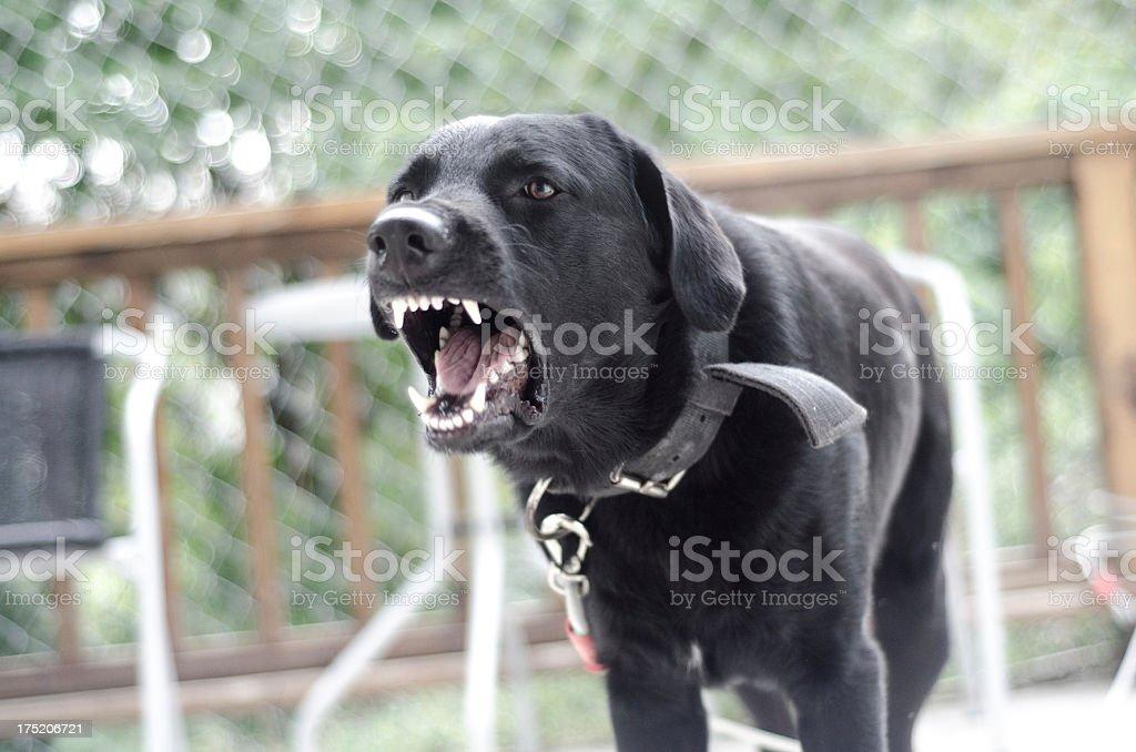 angry fierce dog barking stock photo