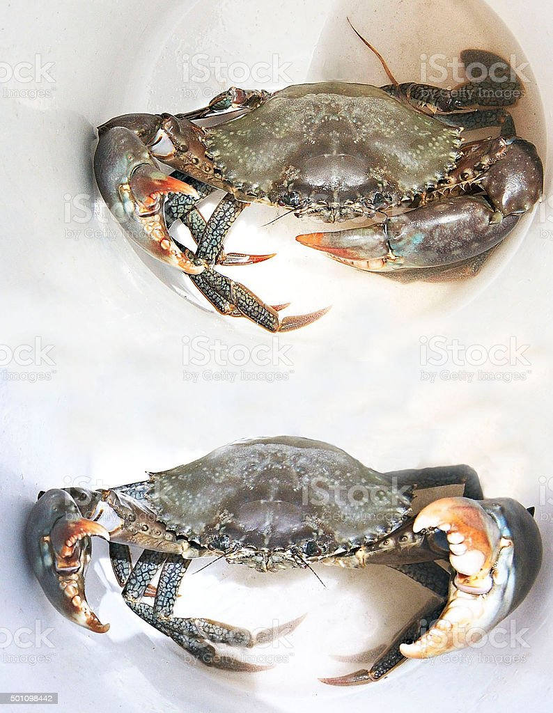 Angry Giant Mud Crab. (Two images) stock photo