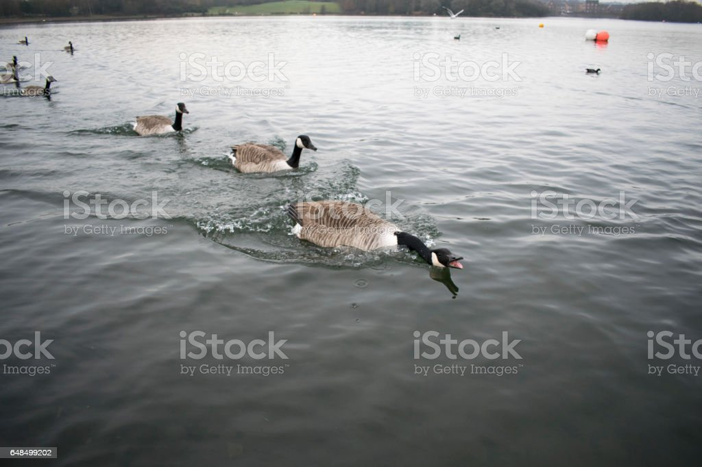 Angry Goose stock photo