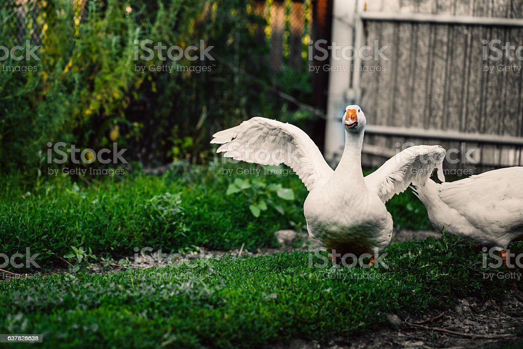 angry goose walking in the village on the lawn stock photo