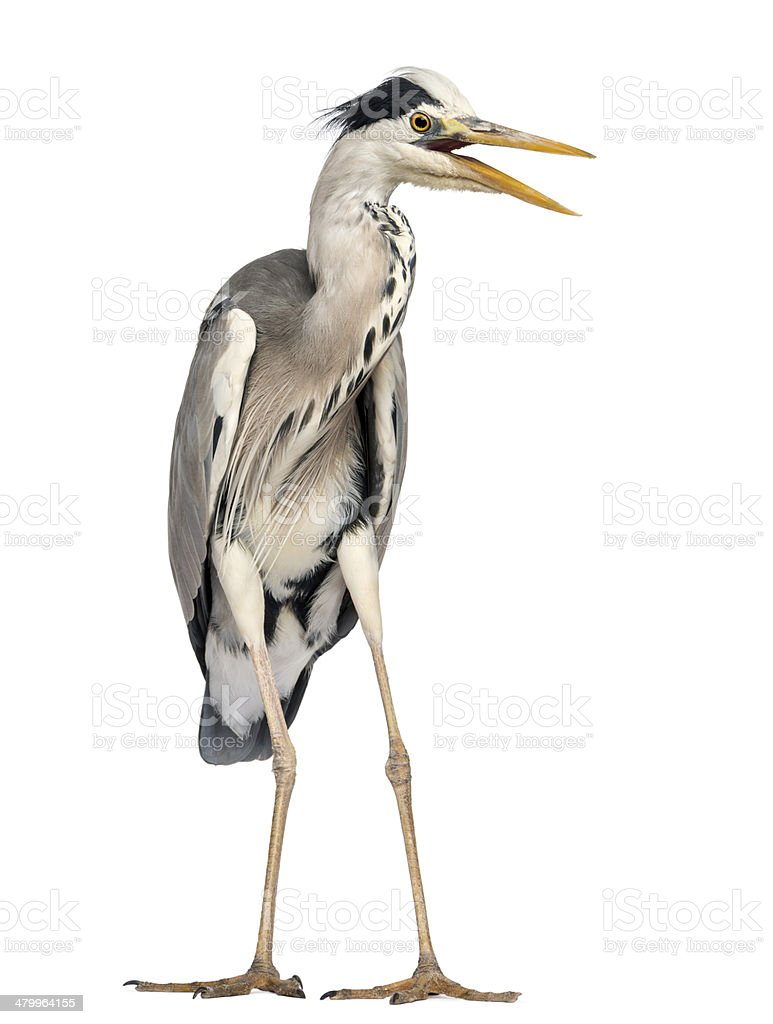 Angry Grey Heron screaming, Ardea Cinerea, 5 years old royalty-free stock photo