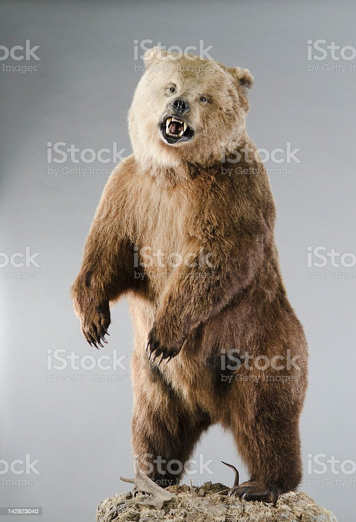 Angry Grizzly Bear on Hind Legs stock photo