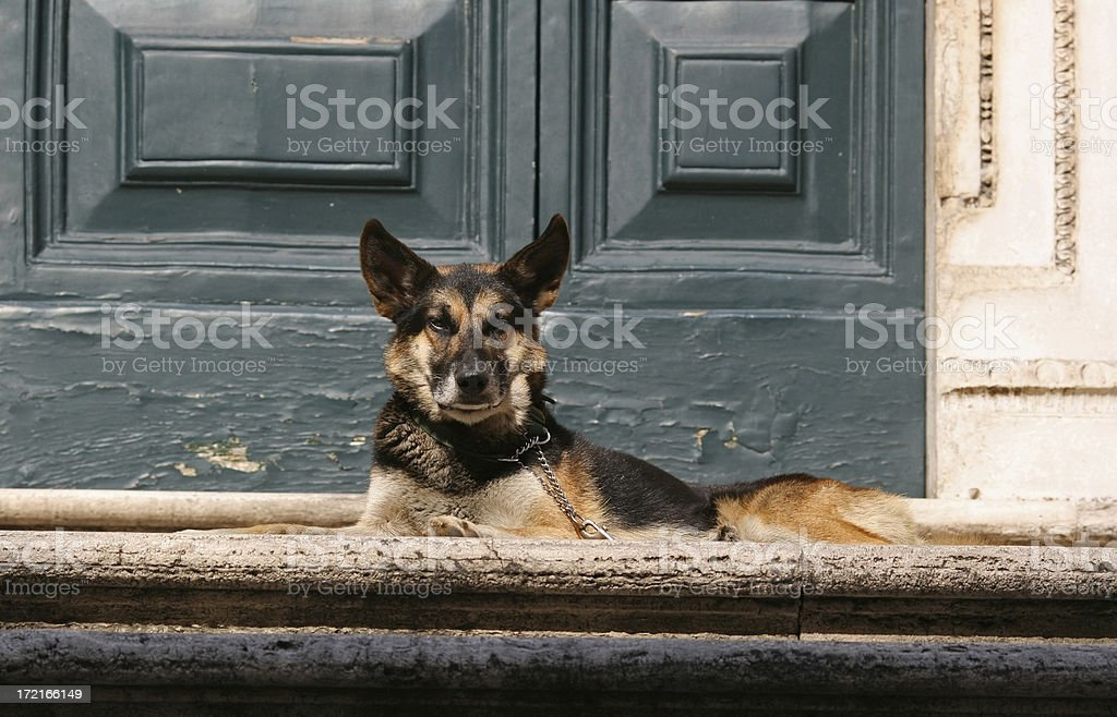 Angry guard dog in Rome stock photo