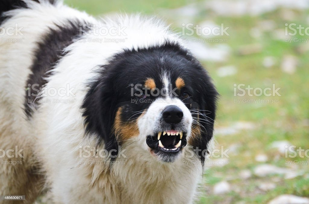 Angry Guard Dog snarling stock photo