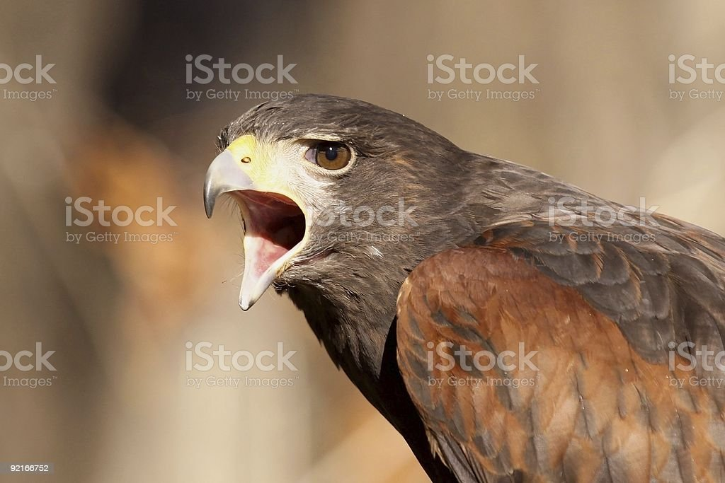 Angry Hawk royalty-free stock photo