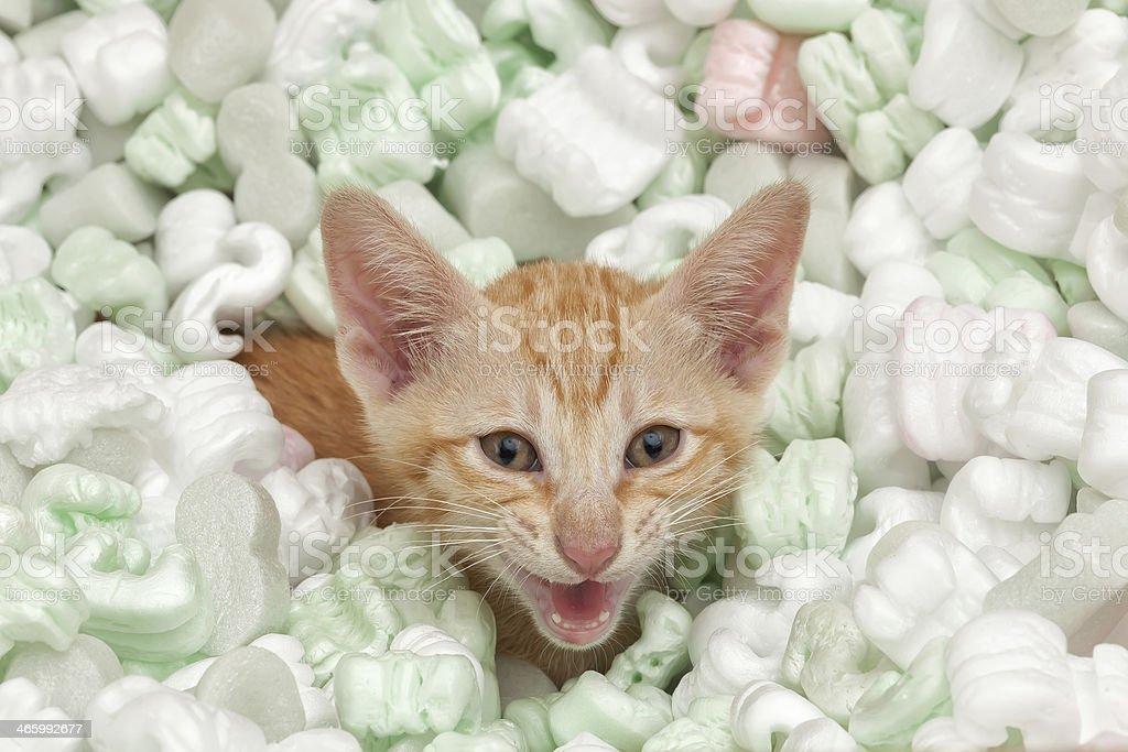 Angry kitten stock photo
