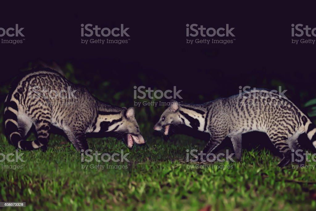 Angry Large Indian civet ( Viverra zibetha ) growling stock photo