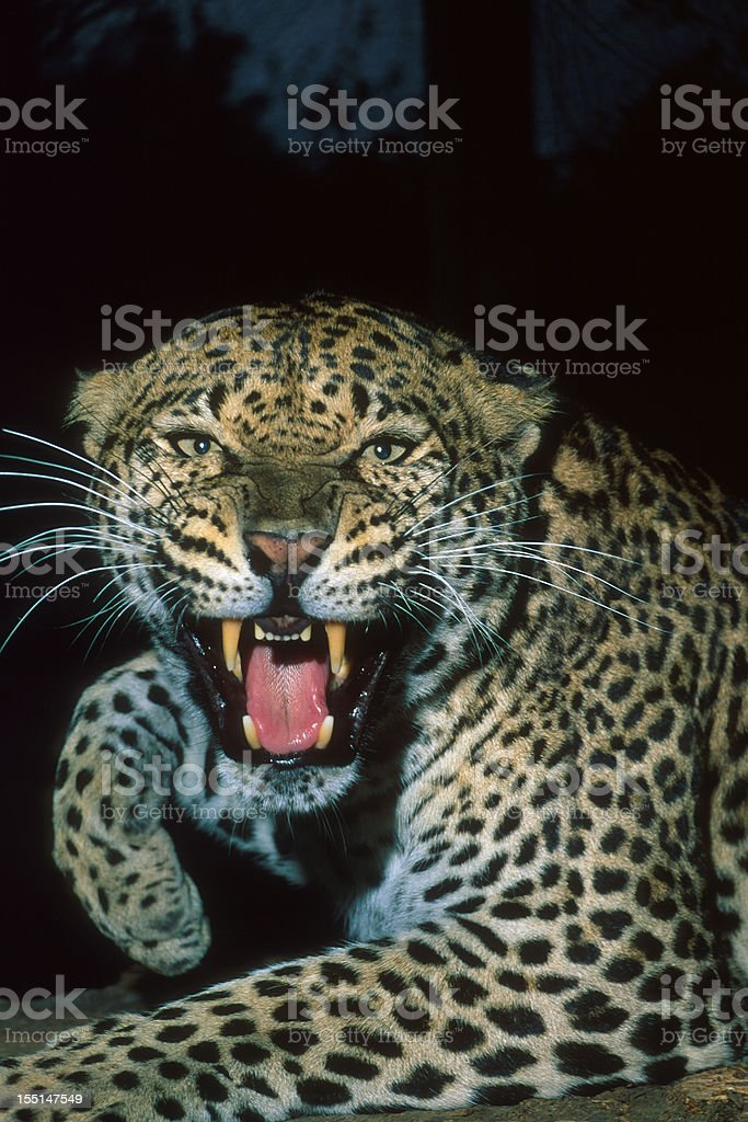 Angry Leopard Growling royalty-free stock photo