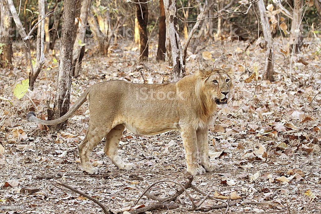 Angry Lioness stock photo