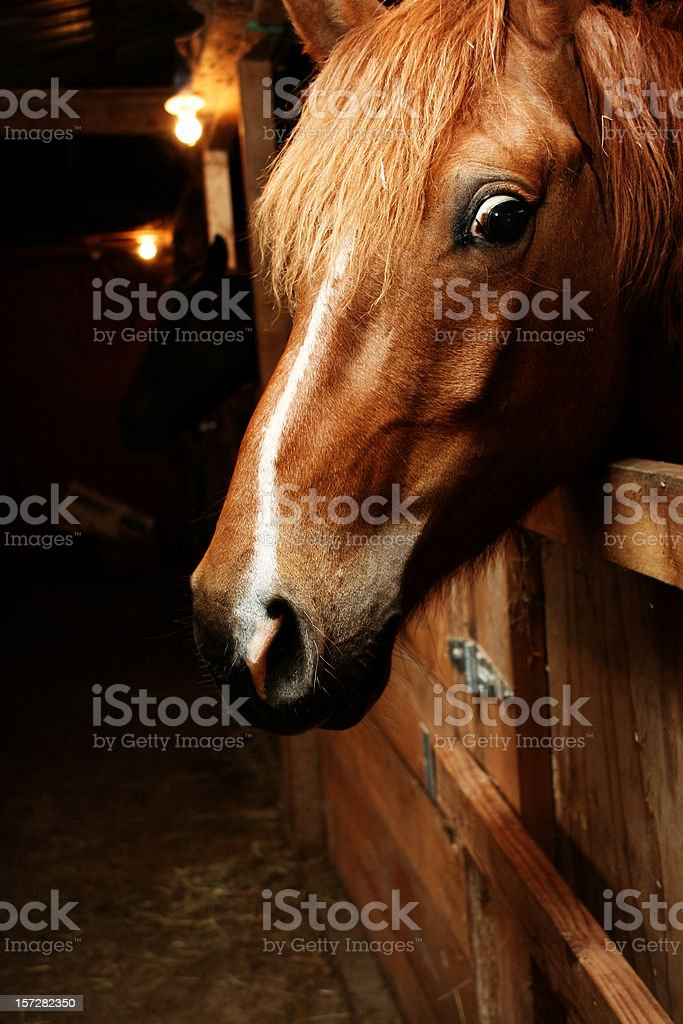 Angry Looking Horse in the Stable stock photo