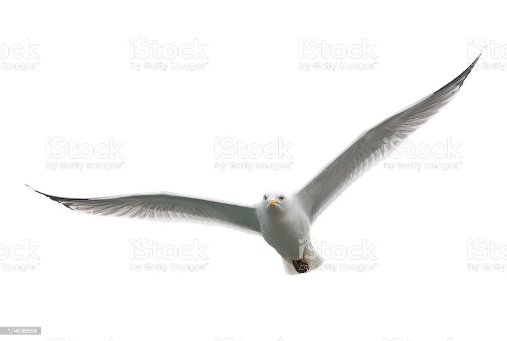 Angry looking white seagull flying toward camera stock photo
