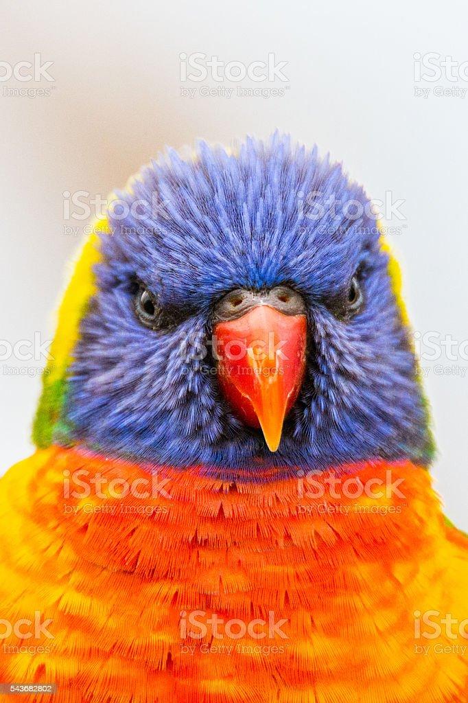 Angry Lorikeet stock photo