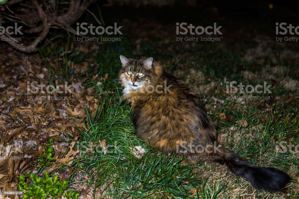 Angry maine coon cat at night in grass outside with open mouth stock photo