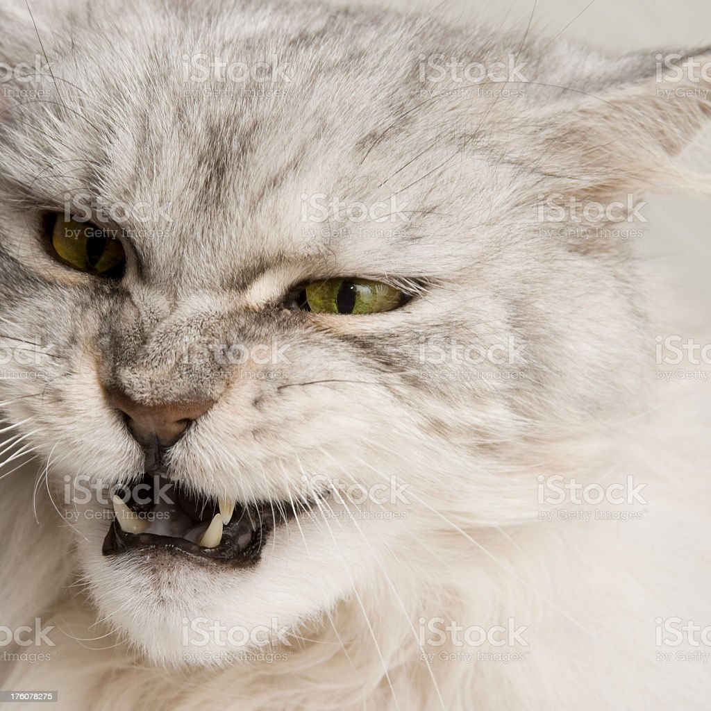 Angry Maine Coon Cat. royalty-free stock photo