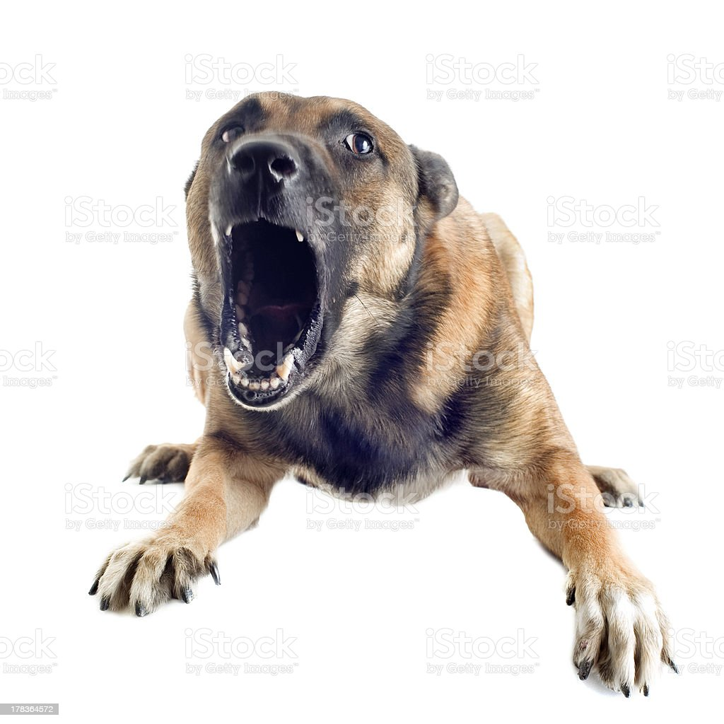 angry malinois stock photo