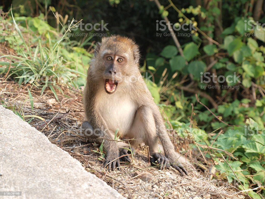 Angry Monkey stock photo