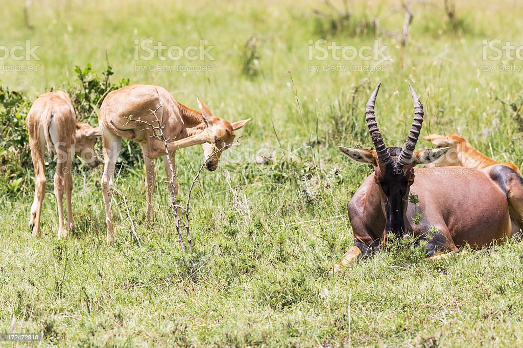 Angry Mother and Baby Topies Antelope royalty-free stock photo