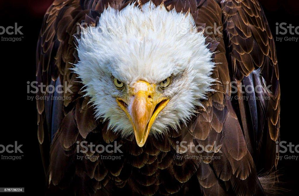 Angry north american bald eagle stock photo