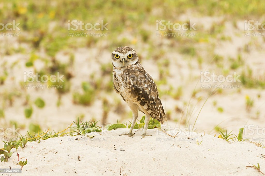 Angry Owl royalty-free stock photo