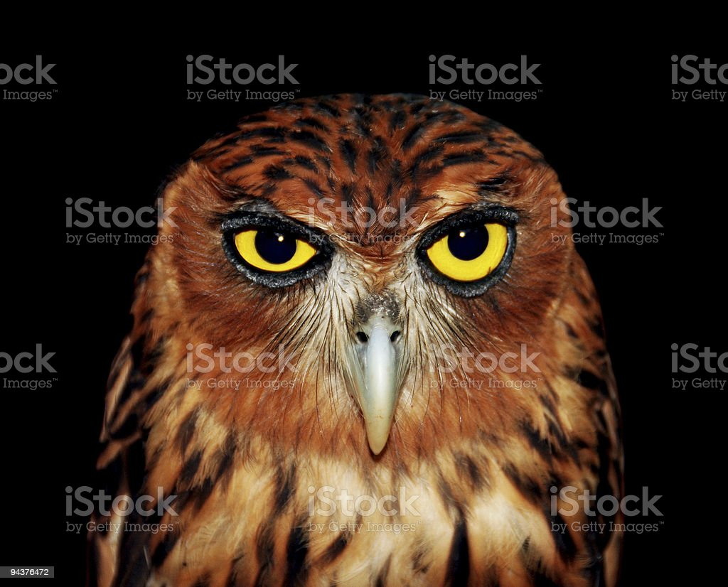 Angry owl stock photo