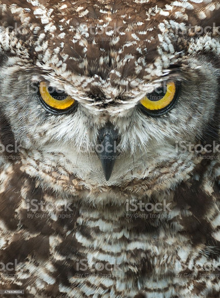 Angry Owl Portrait, Cape Eagle-Owl, Bubo Capensis stock photo