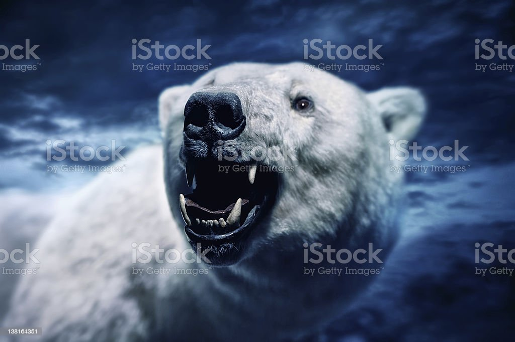 Angry polar bear stock photo