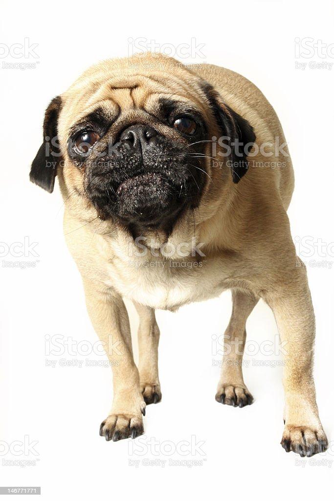 Angry Pug royalty-free stock photo